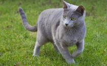 Русская голубая кошка описание породы