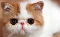 Экзотическая кошка, описание породы экзот