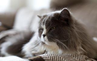 Порода Британская длинношерстная кошка