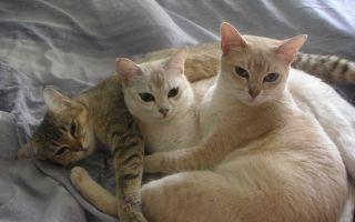 Порода кошек Бурмилла