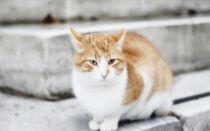 Анатолийская кошка