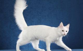 Турецкая ангора (ангорская порода) — самая громко мурчащая порода кошек с голубыми глазами