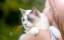 Рэгдолл порода кошек, как тряпичные куклы