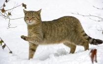 Дикий европейский лесной кот
