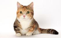 Манчкин порода кошек с короткими лапками