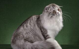 Шотландская порода кошек