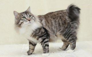 Курильский бобтейл — кошка без хвоста