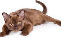 Бурманская кошка (бурма) описание породы и характера