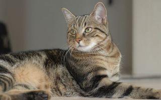 Бразильская Кошка (Короткошерстная) описание породы и характера