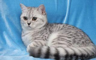 Британская короткошерстная кошка (британец)