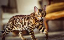 Бенгальская кошка описание породы