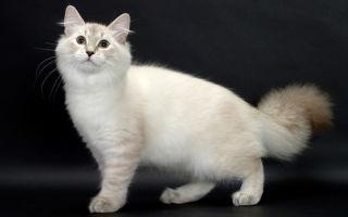 Сибирская кошка: описание породы
