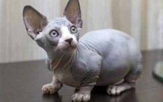 Лысые породы кошек