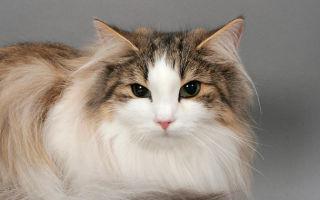 Норвежская лесная кошка: описание породы