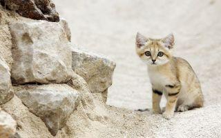 Дикий барханный (пустынный) кот или арабская песчаная кошка