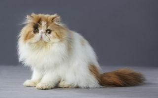 Персидская кошка — пушистая порода