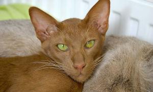 Ориентальная порода кошек (ориентал)