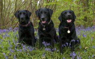 Породы черных собак