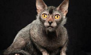 Ликой – новая популярная порода кошек, похожих на оборотней