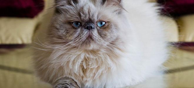 Порода Гималайская кошка