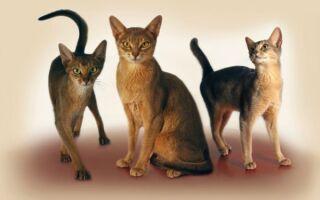 Гладкошерстные породы кошек