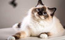 Бирманская порода кошек (священная бирма)