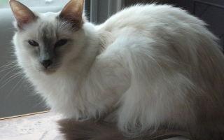 Порода Балинезийская кошка