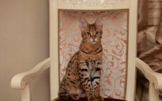 Ашера – порода больших пятнистых кошек