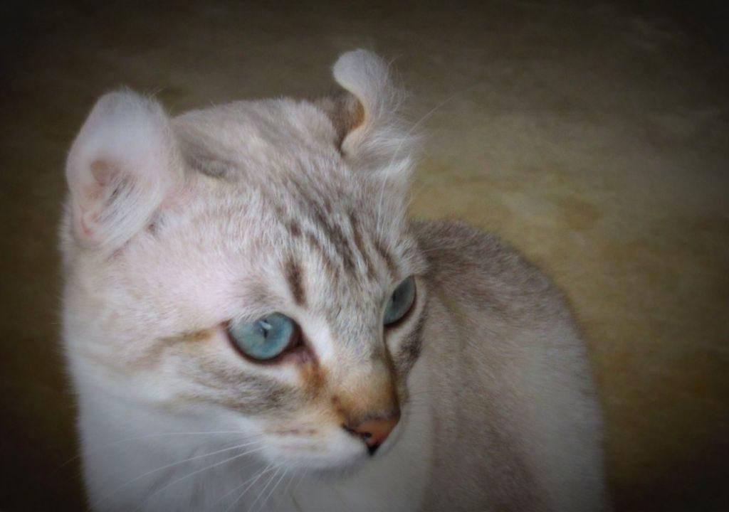кошка породы керл фото