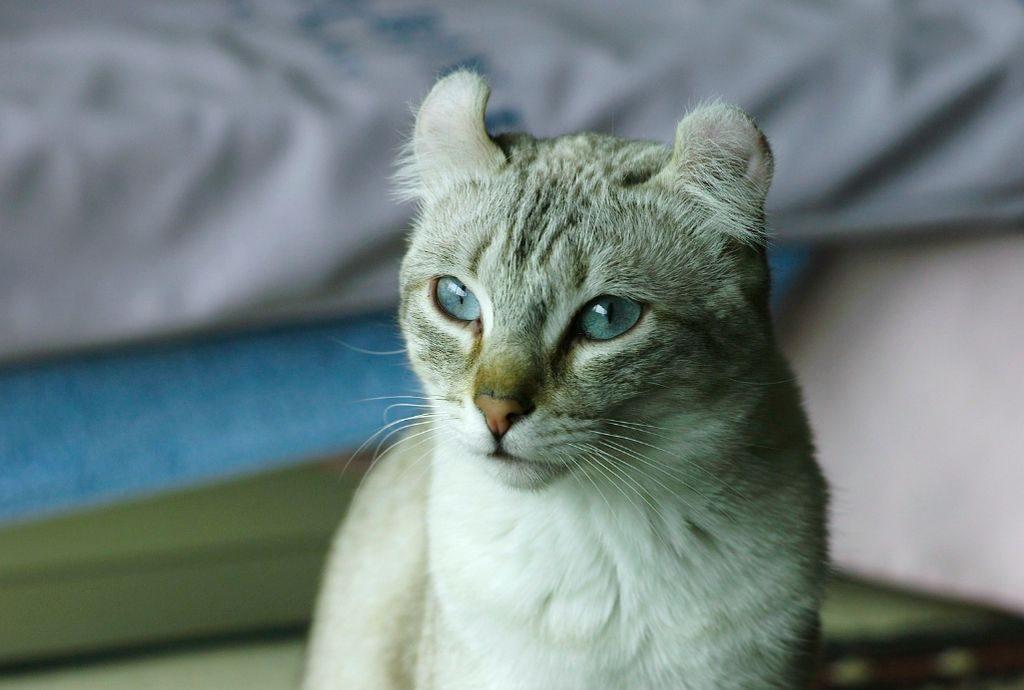 кот керл фото