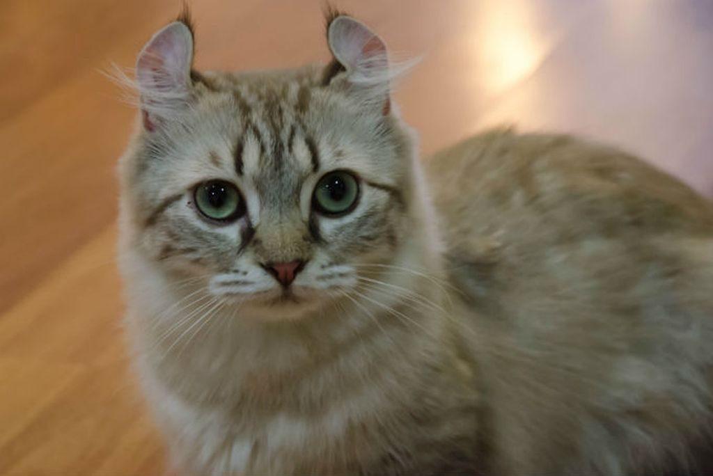 керл кошка фото