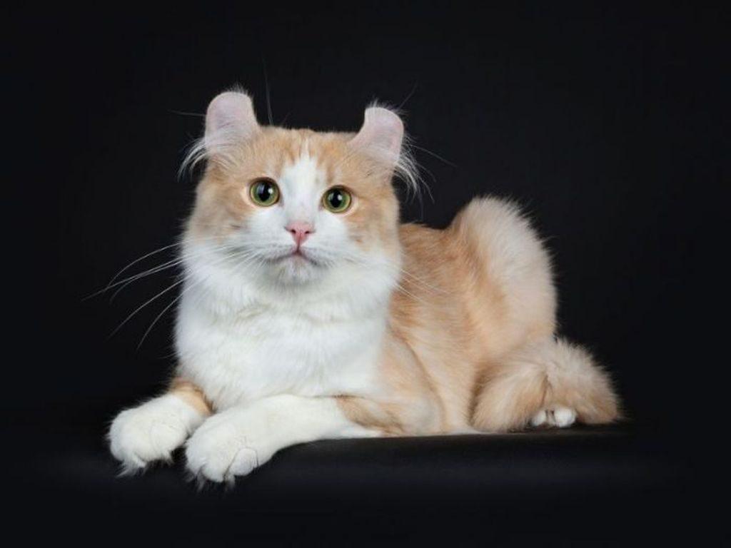 американский керл кошка фото