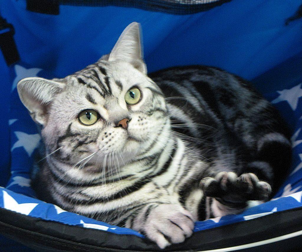 короткошерстные кошки фото