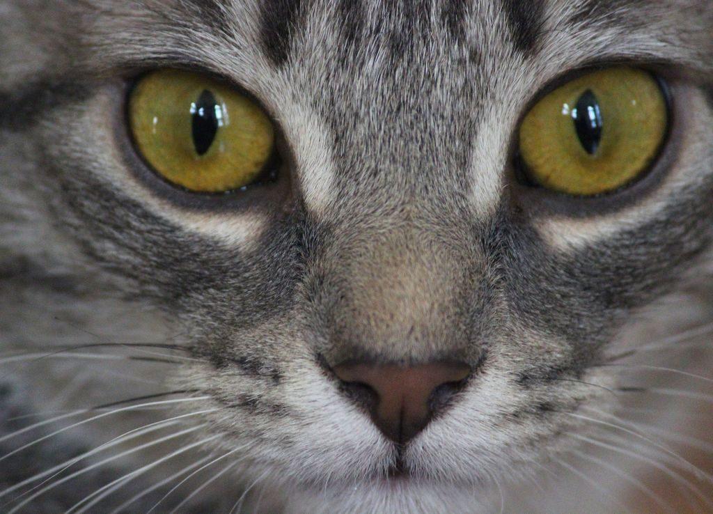 короткошерстные коты породы фото