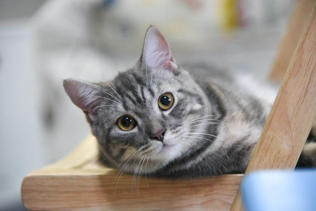 американская кошка фото цена