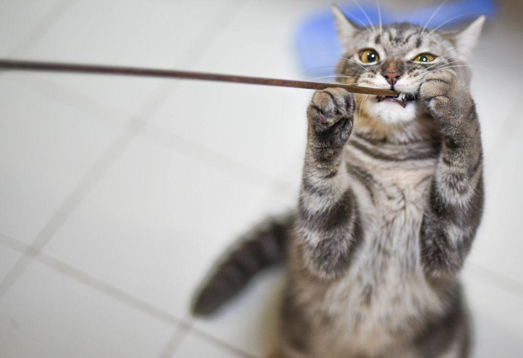 американская кошка характер