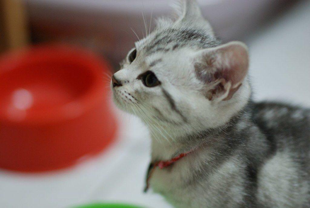 американские породы кошек фото и названия
