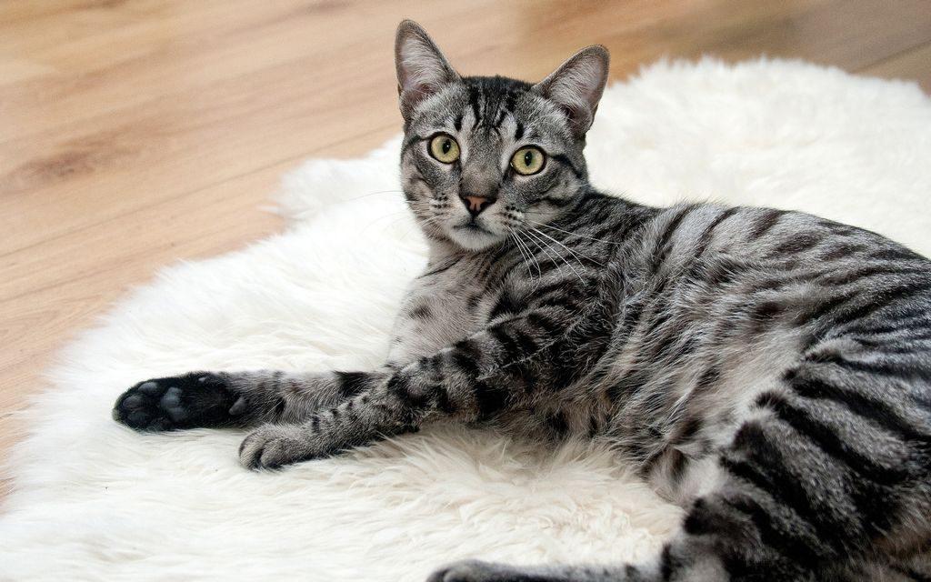 американская жесткошерстная кошка цена
