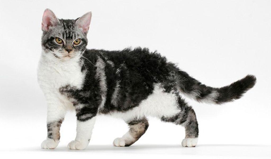 американская жесткошерстная кошка картинки