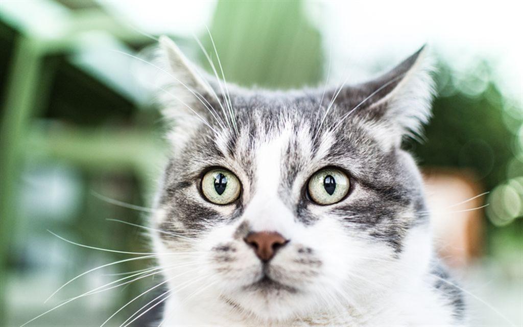 жесткошерстный кот