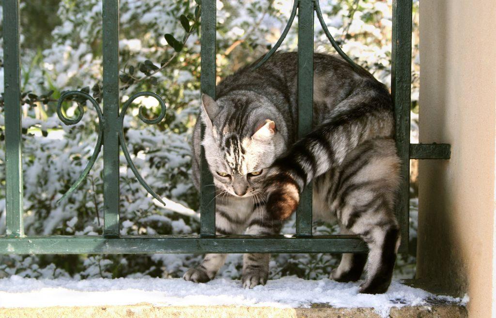 жесткошерстная кошка