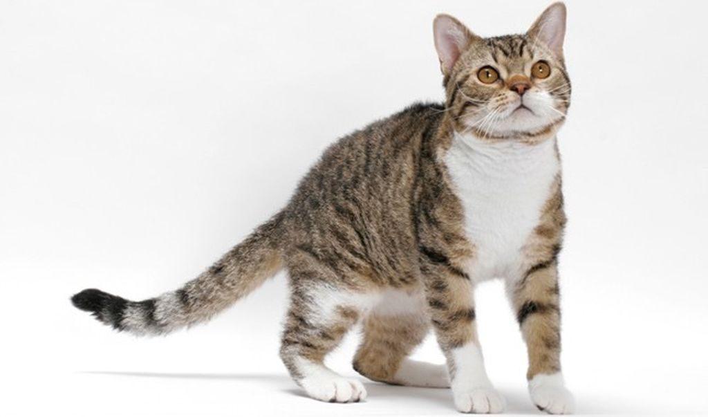 кошка американская жесткошерстная