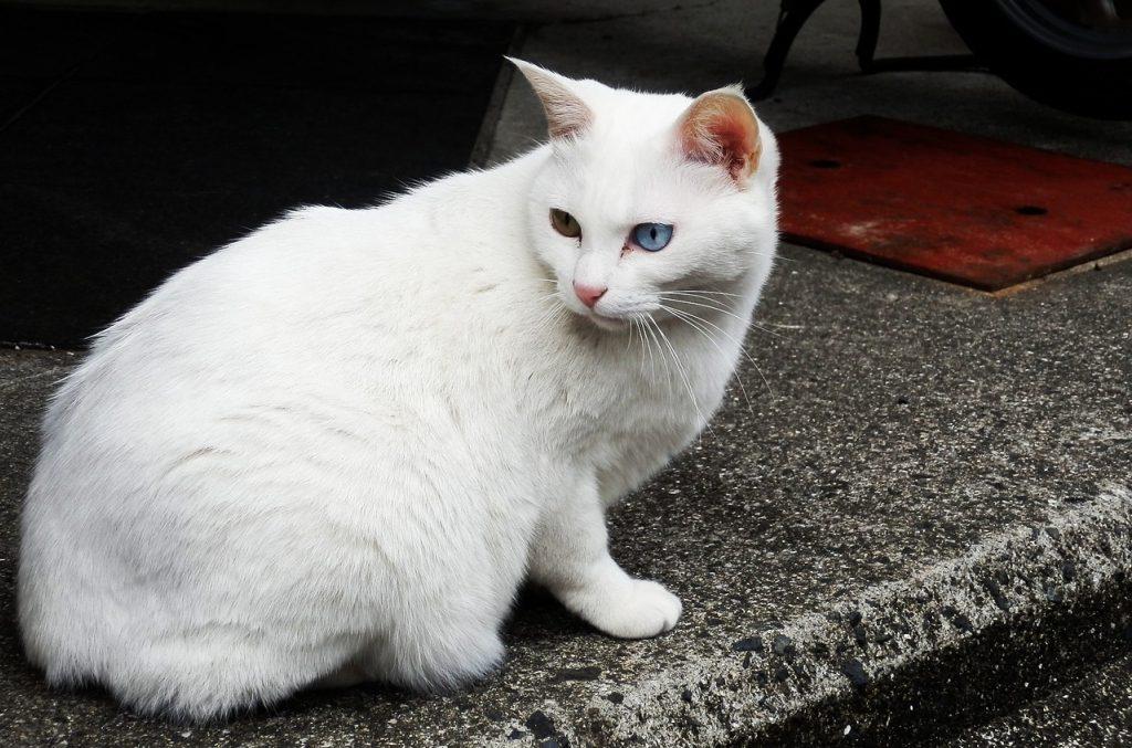 анатолийский кот
