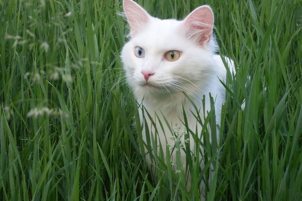 серая гладкошерстная кошка порода