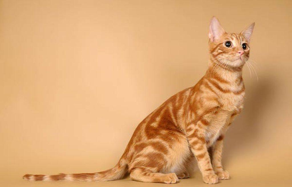 анатолийская кошка купить