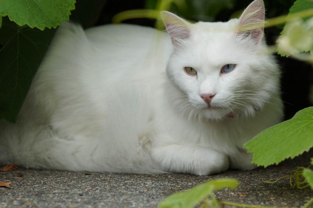 турецкая порода кошек