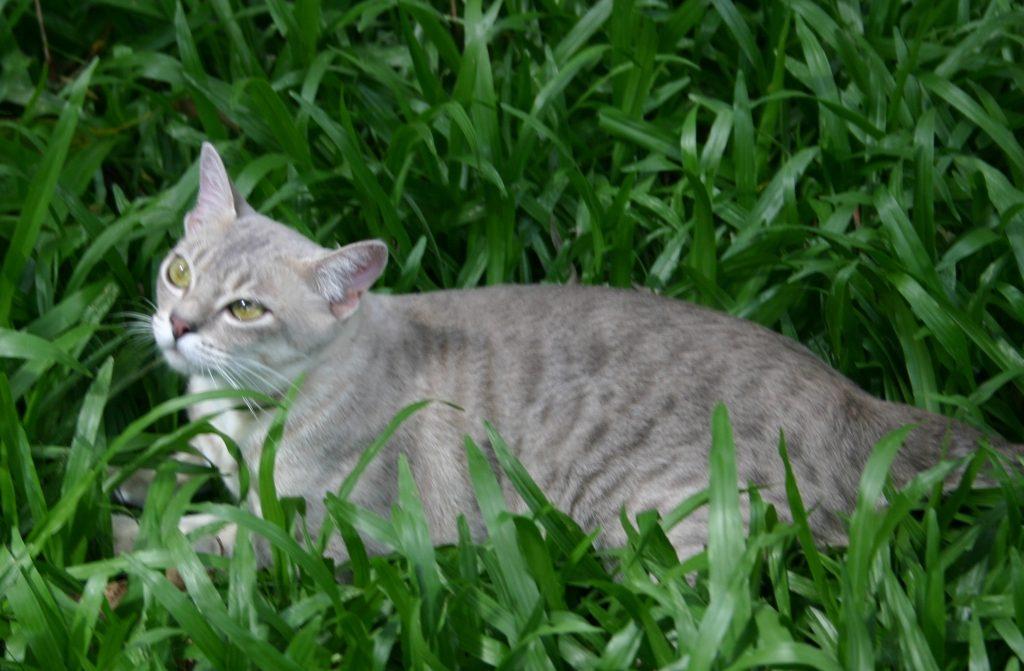 австралийская кошка