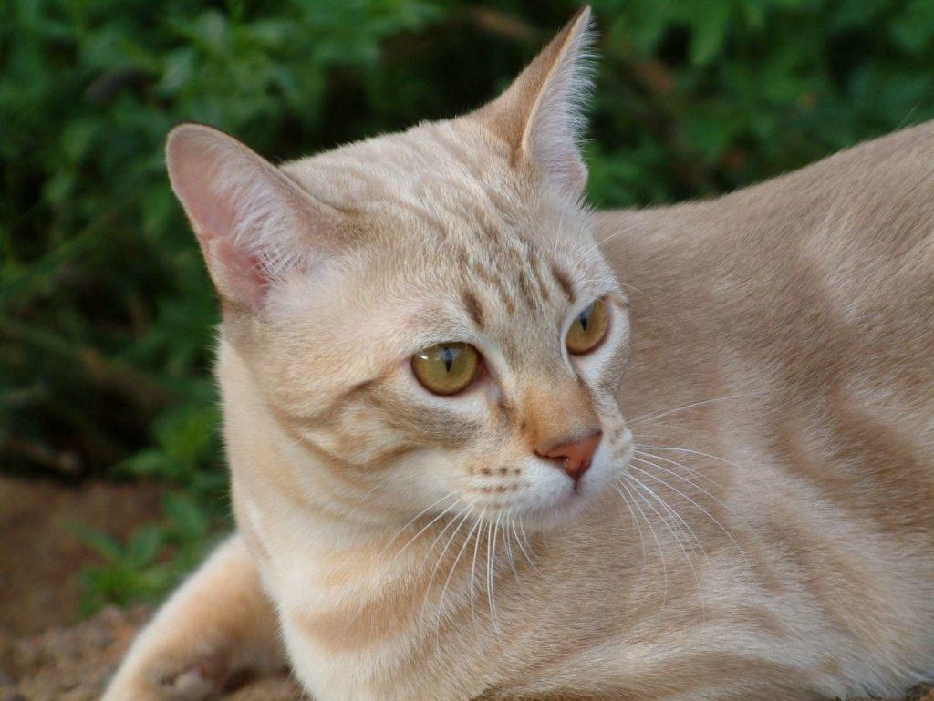 австралийский мист кошка фото