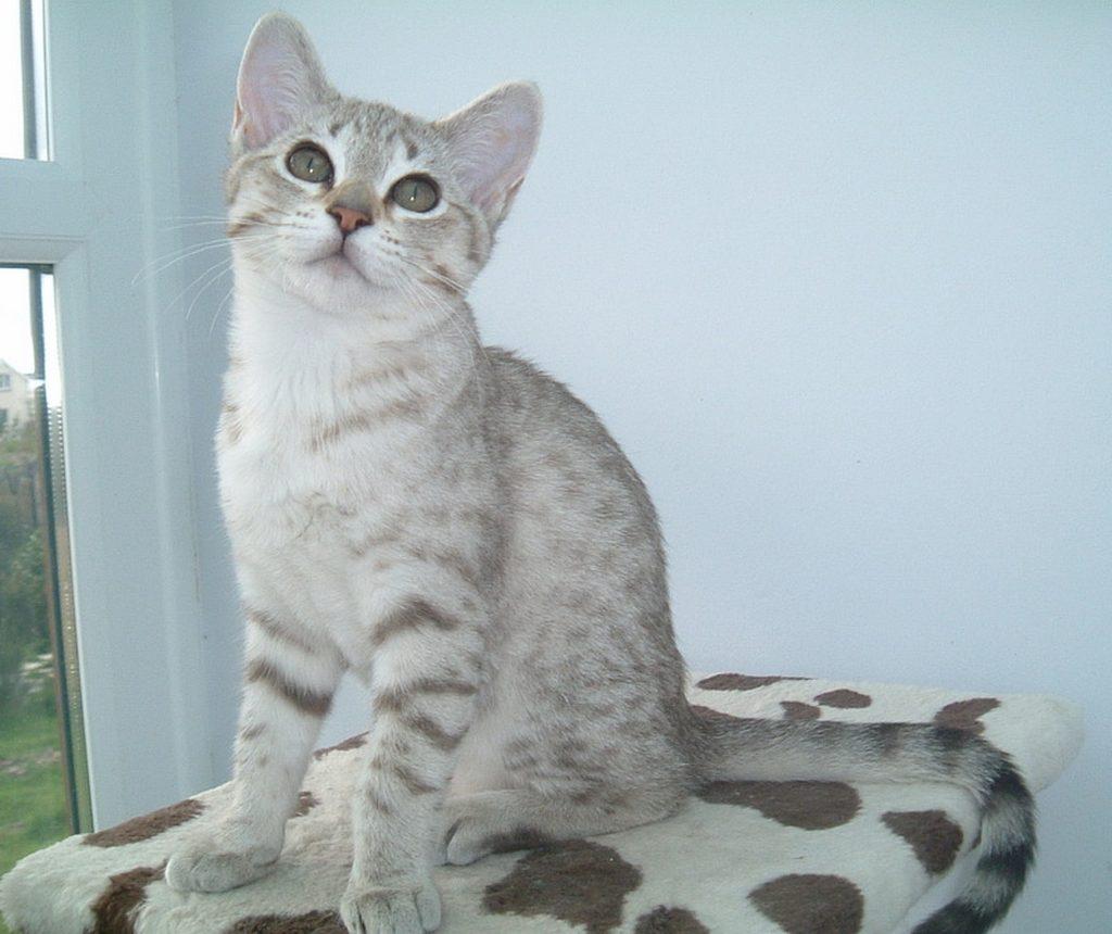 порода кошек австралийский мист
