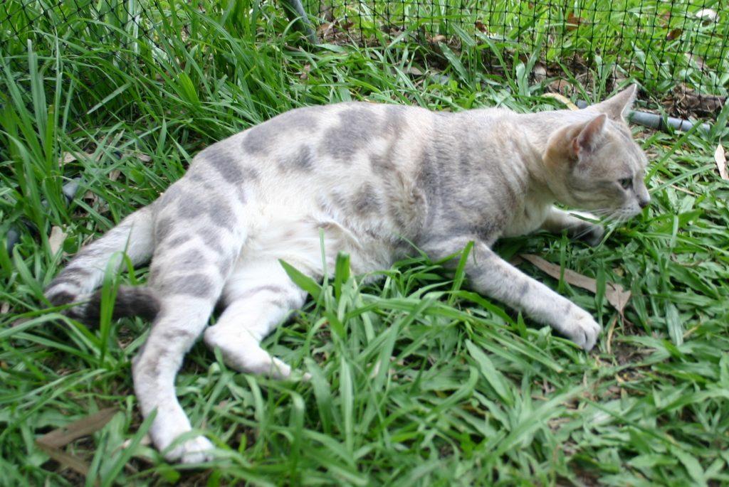 австралийская кошка фото
